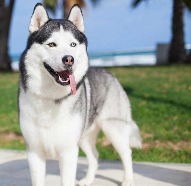 Husky rasy pies z wywieszonym językiem