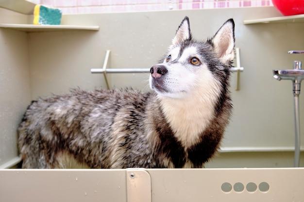 Husky syberyjski w wannie do kąpieli z mokrymi włosami.