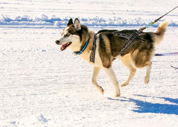Husky w uprzęży na zawodach w skijoringu na kamczatce.