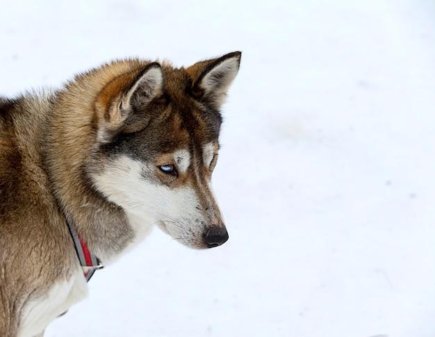 Husky w żłobku dla psów
