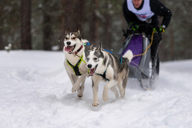 Husky zaprzęg psich zaprzęgów w bieganiu w uprzęży i ciągnięciu psa kierowcy. wyścigi psów zaprzęgowych. zawody mistrzostw sportów zimowych.