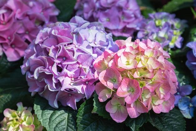 Hydenyia kwiat w ogrodzie w wiosenny dzień