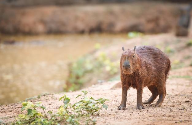 Hydrochaeris hydrochaeris - kapibara w parku narodowym