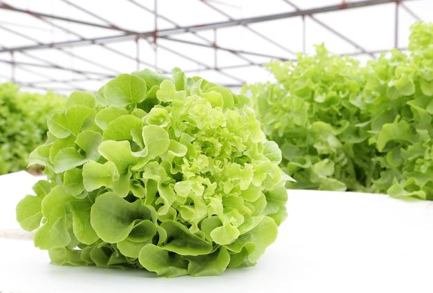 Hydroponic warzywo (zielony dąb) w gospodarstwie rolnym