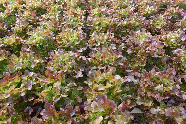 Hydroponiczne rośliny sałatkowe na wodzie bez uprawy gleby w szklarni organicznych warzyw hydroponicznych system hydroponiczny młoda i świeża sałata z czerwonego dębu rośnie
