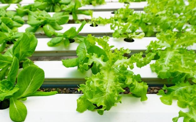 Hydroponika lub hydrokultura to metoda uprawy roślin w składnikach odżywczych, których potrzebują zamiast gleby.
