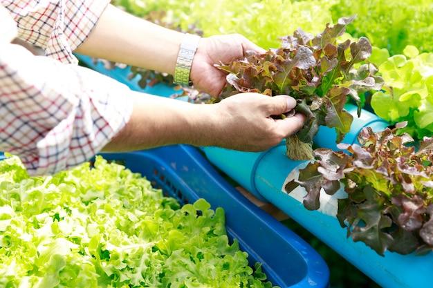 Hydroponika uprawia ziemię, pracownik trzyma sałaty organicznie hydroponic warzywa przy szklarnianym gospodarstwo rolne ogródem.