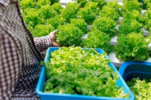 Hydroponika uprawia ziemię, pracownika żniwa sałaty organicznie hydroponic warzywo przy szklarnianym gospodarstwo rolne ogródem.