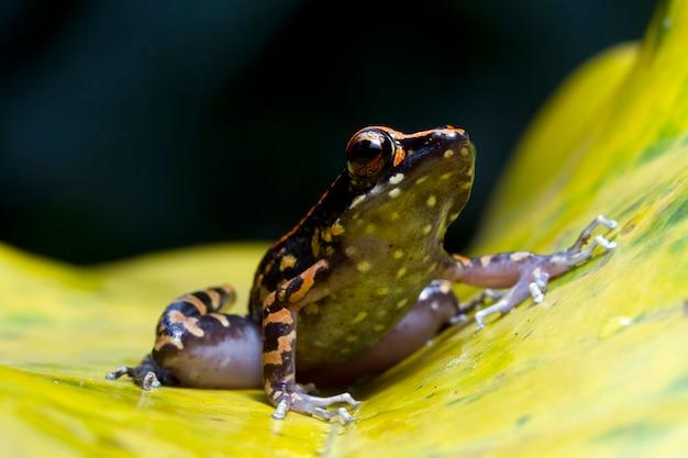 Hylarana picturata żaba zbliżenie na żółtych liściach indonezyjska żaba drzewna
