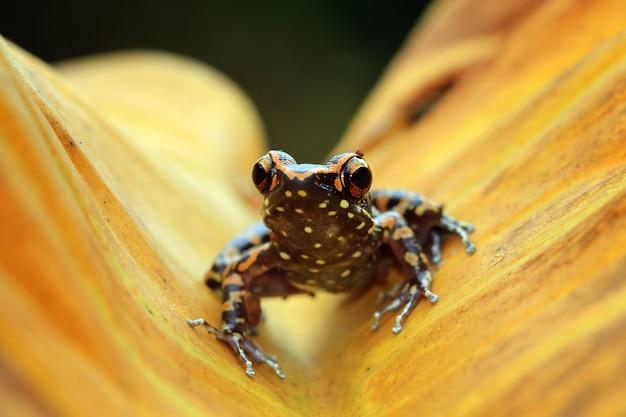Hylarana picturata żaba zbliżenie na żółtych liściach