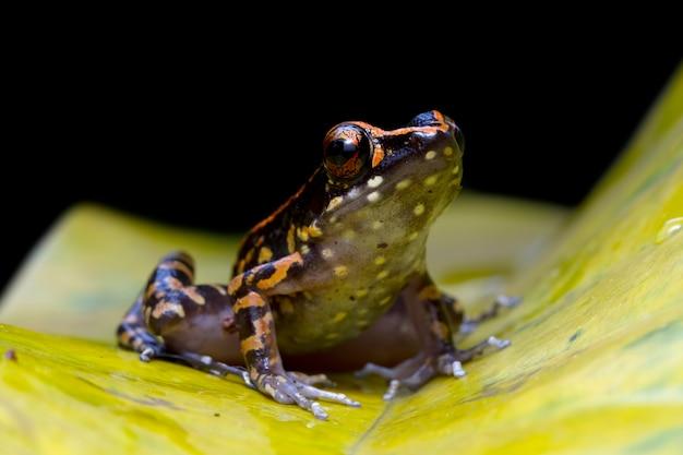 Hylarana picturata żaba zbliżenie