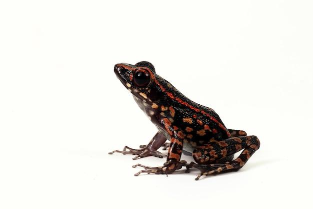 Hylarana signata żaba zbliżenie na białym tle