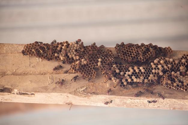 Hymenoptera na drewnie. gniazdo os.