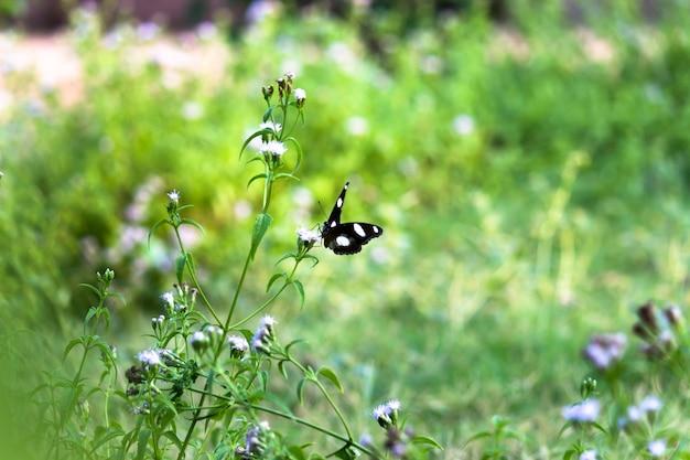 Hypolimnas bolina wielka jajowata lub motyl błękitny księżyc odpoczywający na roślinach kwiatowych