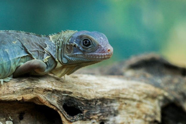 Hypomelanistyczna morpha purpurowa iguana