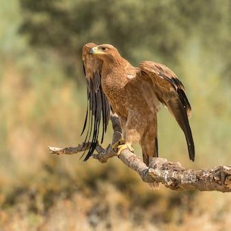 Iberyjski orzeł cesarski siedzący na gałęzi z otwartymi skrzydłami