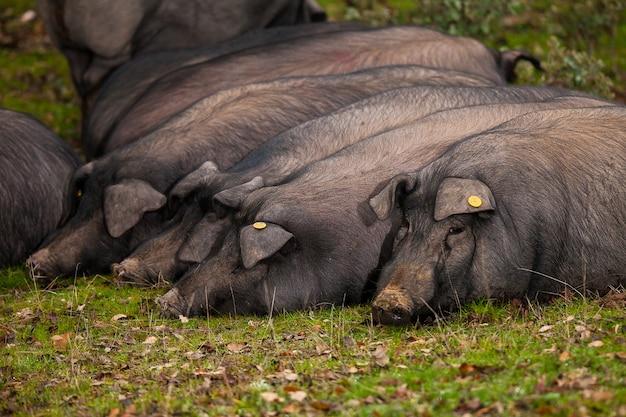 Iberyjskie świnie leżące na trawie kamery ...