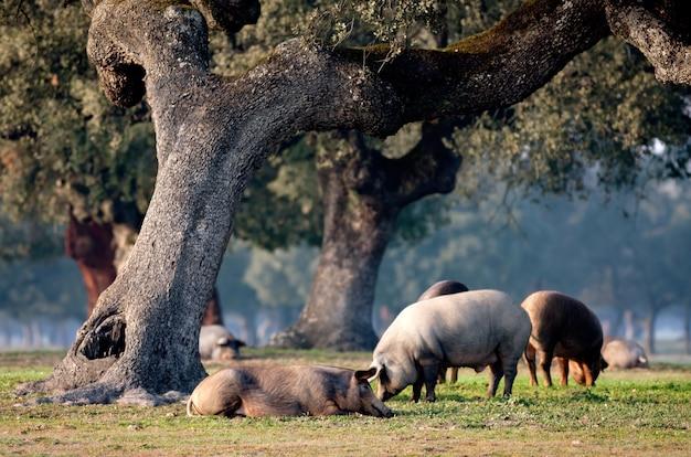 Iberyjskie świnie pasące się wśród dębów