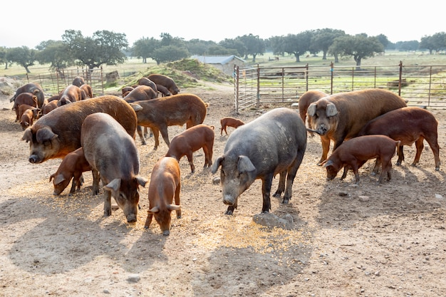 Iberyjskie świnie pasie się w gospodarstwie rolnym
