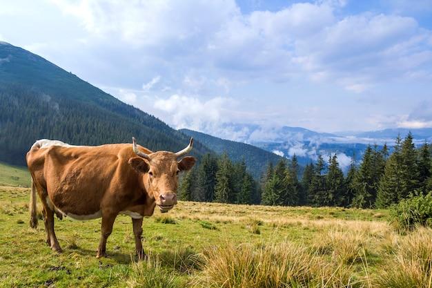 Idylliczny widok na ładne, brązowe krowy pasące się na zielonym pastwisku fr