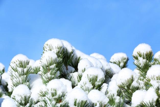 Iglaste gałęzie pokryte śniegiem w jasny zimowy dzień