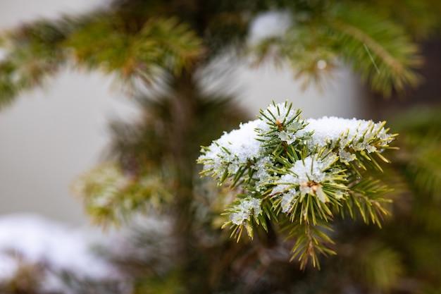 Igły jodły pokryte śniegiem