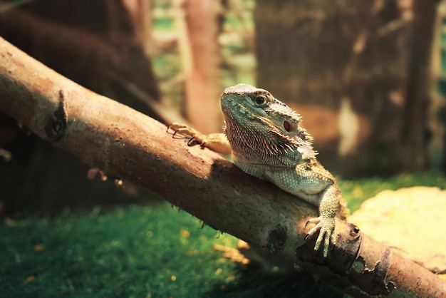 Iguana duża jaszczurka