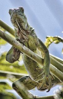 Iguana iguana jaszczurka