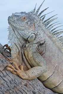 Iguana jaszczurka cayman