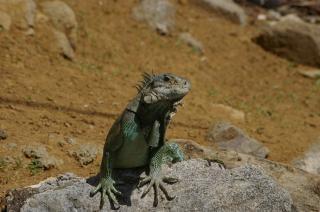 Iguana, jaszczurka