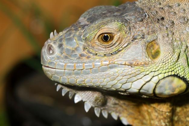 Iguana jaszczurka