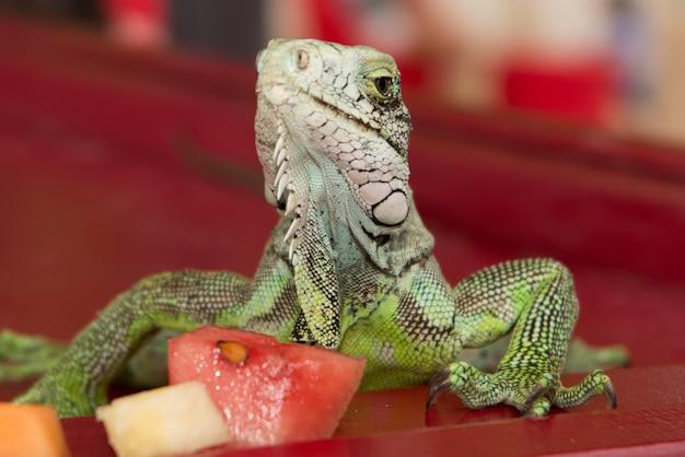 Iguana jaszczurki portreta zakończenie