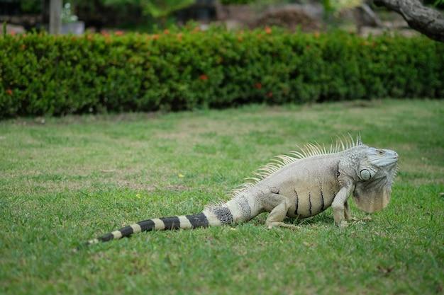 Iguana kłaść na zielonej trawy polu