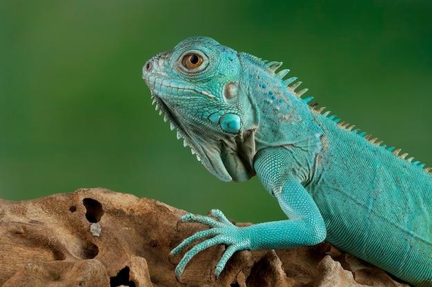 Iguana niebieska zbliżenie na gałęzi z czarnym backgrond iguana niebieska wielki kajman legwany niebieskie cyclura