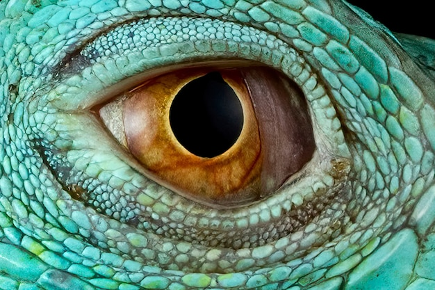 Iguana niebieskie oczy zbliżenie oczy niebieskiej iguany
