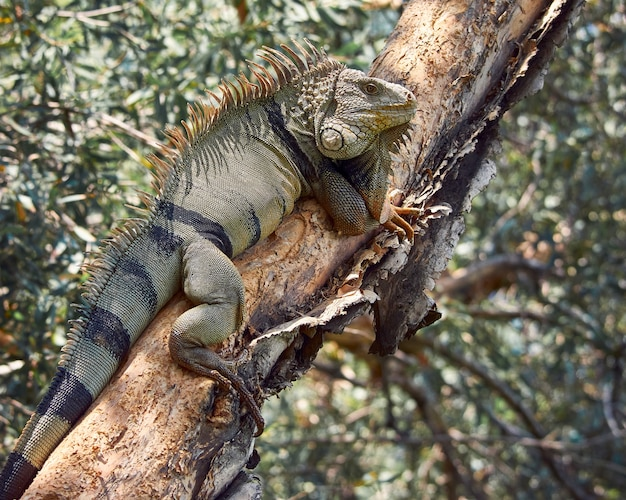 Iguana odpoczywa na drzewie podczas opalania