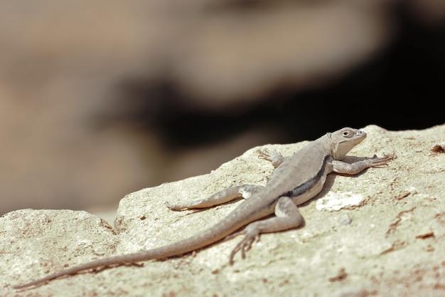 Iguana peruwiańska (microlophus peruvianus)