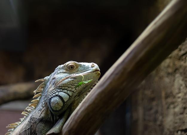 Iguana siedzi na gałęzi i patrzy w kamerę