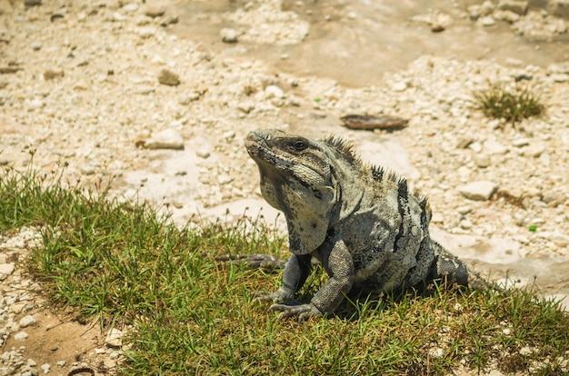 Iguana w słońcu na plaży