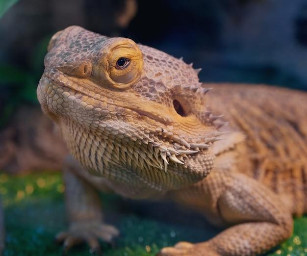 Iguana w trawie