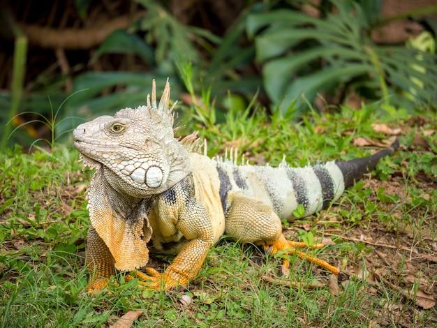 Iguana wpatrująca się w trawę