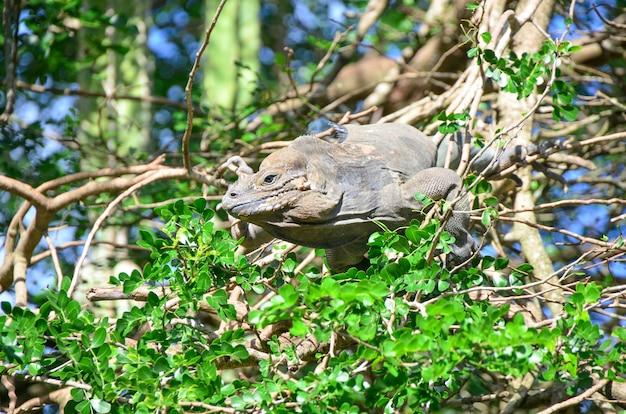 Iguana zielona na drzewie.