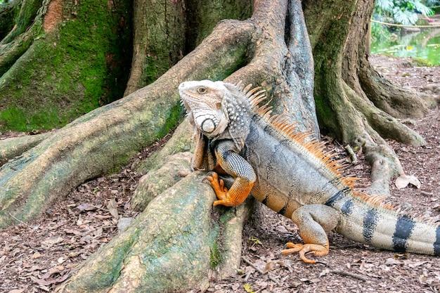 Iguana zielona wpatrująca się w suchą ziemię