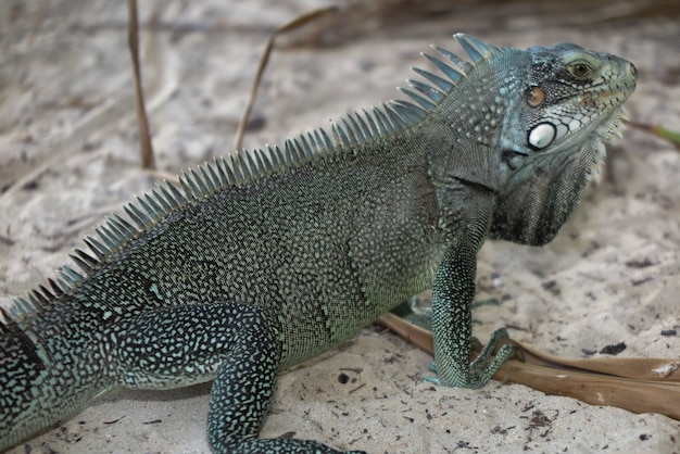 Iguane jaszczurki portret makro-