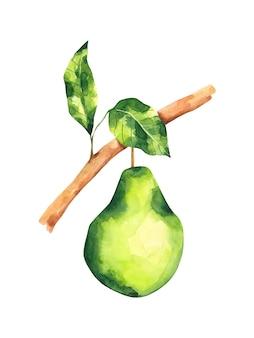 Ilustracja akwarela gałęzi drzewa gruszki kompozycja owocowa na białym tle zielona gruszka