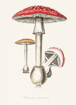 Ilustracja amanita muscaria z botaniki medycznej (1836)