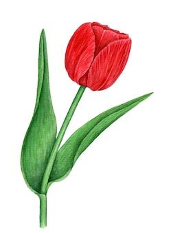 Ilustracja botaniczna vintage akwarela czerwony tulipan na białym tle
