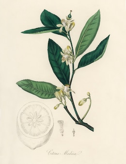 Ilustracja citron (citrus medica) z medical botany (1836)
