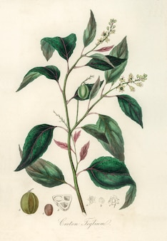 Ilustracja purging croton (croton tiglium) z medical botany (1836)