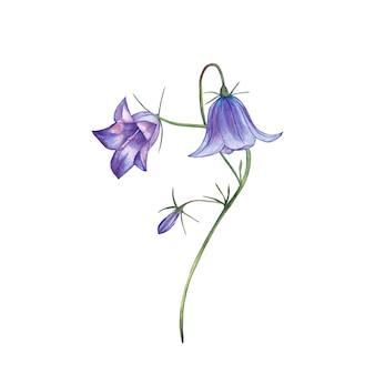 Ilustracja realistyczny purpurowy bellflower. malarstwo akwarelowe.